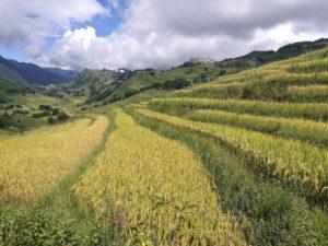 arroz-sapa